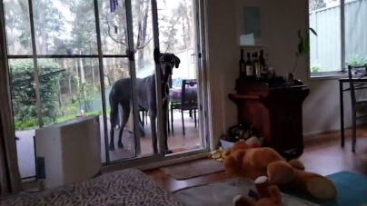 Clever Great Dane Knows What To Do When It's Bath Time