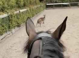 Kangaroo Among Thoroughbreds