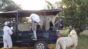 Male Lion Jumps Into An Open Safari Truck Full Of Students