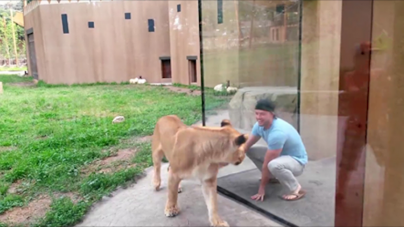 Man Has A Field Trip Playing With Lionesses At The Zoo
