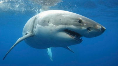 Sharks and swimmers mingle on the Coromandel